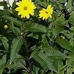 Helianthus tuberosus Blad