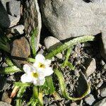 Plagiobothrys kunthii
