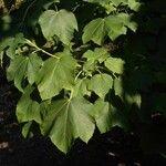 Acer nipponicum