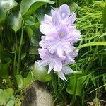Eichhornia crassipes Flower