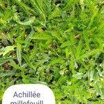Achillea millefolium Hoja