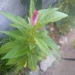 Celosia argentea Cvet
