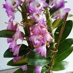 Dendrobium nobile List