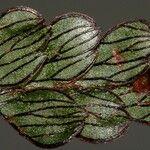 Hymenophyllum rolandiprincipis