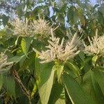 Lithocarpus glaber