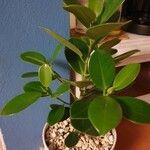 Ficus elastica List