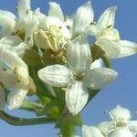Galium pseudohelveticum