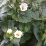 Bacopa repens