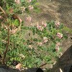Indigofera jucunda Fleur