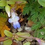 Collinsia parviflora