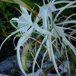 Hymenocallis palmeri