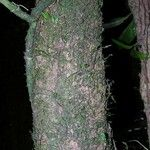 Neea elegans