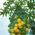 Vasconcellea pubescens