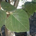 Erythrina americana