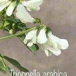 Trigonella arabica