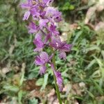 x Orchidactyla
