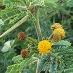 Acacia nilotica