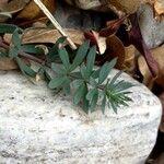 Euphorbia corsica
