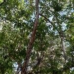 Campomanesia guazumifolia