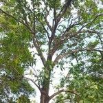Genipa americana Alkat (teljes növény)