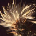 Centaurea furfuracea