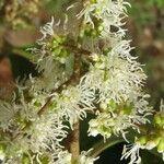 Miconia lonchophylla