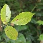 Allophylus borbonicus