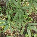 Vitex agnus-castus Leaf