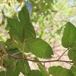 Allophylus rubifolius List