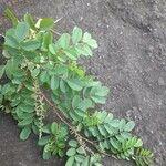 Indigofera tinctoria Leaf