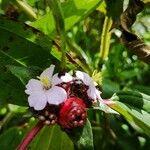 Tristemma mauritianum Hedelmä