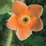 Macroscepis pleistantha