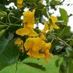 Pterocarpus rotundifolius