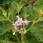 Solanum dasyphyllum