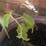 Acalypha indica Feuille