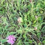 Centaurea nigra Õis