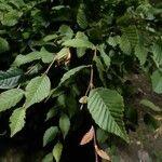 Carpinus betulus Foglia