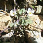 Viola parvula