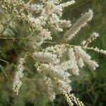 Tamarix senegalensis