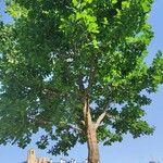 Quercus robur Hoja
