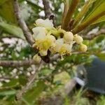 Calophyllaceae