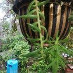 Sedum mexicanum 花