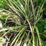Carex hachijoensis