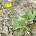 Hieracium pseudocerinthe