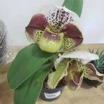 Paphiopedilum spp. Blad