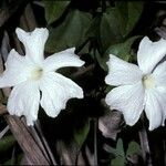 Thunbergia fragrans
