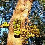 Ficus hispida