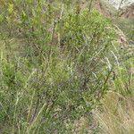 Heterophyllaea lycioides