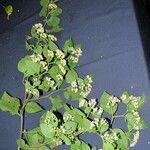 Archibaccharis schiedeana