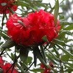 Rhododendron neriiflorum